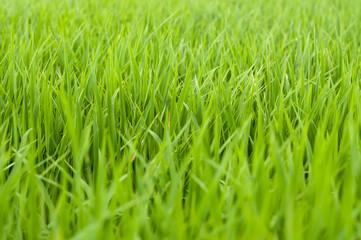 green rice field at sunrise.