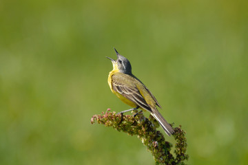 Perching male Yellow Wagtail cries