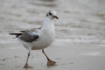 Black headed gull. Juvenile herring