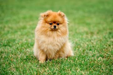 Brown pomeranian dog
