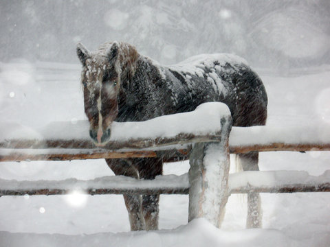 Brown horse in snow storm/Dark brown horse standing in snow storm leaning on a fence.