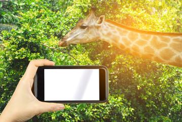 Taking snapshot of giraffe with smartphone