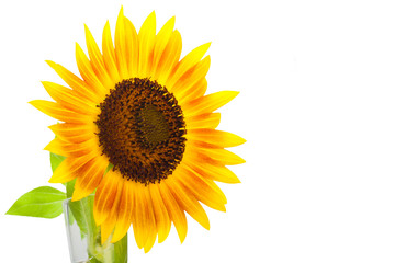HELIANTHUS annuus 'Firecracker' sunflower over isolate white background.with clipping path and copyspace
