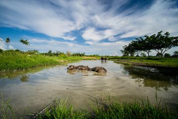 Local Thai Buffaloes are Taking a bath in Swamp