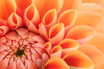 Orange flower petals, close up and macro of chrysanthemum, beautiful abstract background