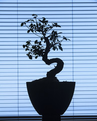 Bonsai silhouette