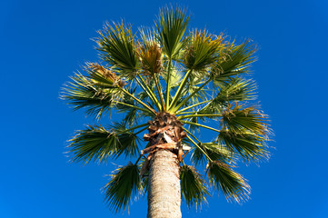 Palm tree crown and foliage against clear blue sky on the background. Looking up
