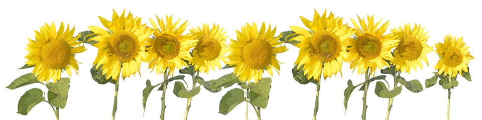 Wyizolowane słoneczniki na białym tle