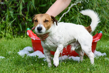 Dog washing under water stream from hose standing at grass