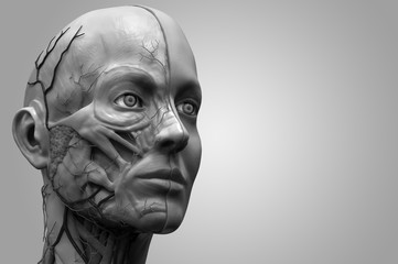 muscle anatomy of the face ,reference of human anatomy in realistic 3D rendering