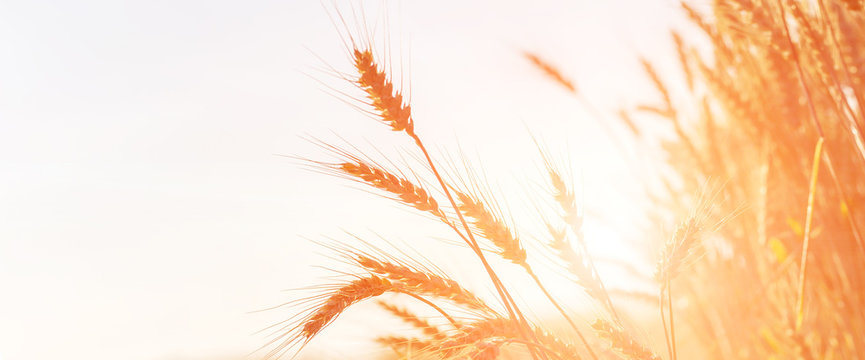 golden ears of wheat or rye on the field, close up. majestic rural landscape. copy spase. web background