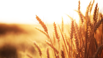 Wheat field on the background of the setting sun. majestic rural landscape. golden ears in the sunlight