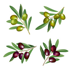 Set of olive branches (Olea europaea) with green and black olives. Hand drawn realistic vector illustration isolated on white background.