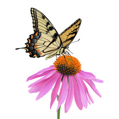 Swallowtail Butterfly and Coneflower. Hand drawn vector illustration of a Swallowtail Butterfly sipping nectar from a coneflower on transparent background.
