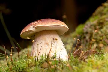 Boletus in moss in forest