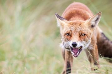 an red fox