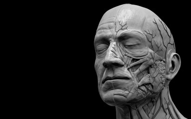 Human body anatomy - muscle anatomy of the head  3d render