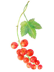 Hand drawn watercolor painting red currants