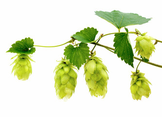 hop cones and leaves isolated on a white background