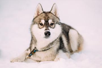 Husky Dog Sit In Snow. Winter