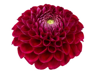 Red dahlia isolated on white