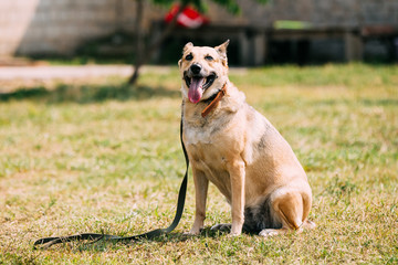 Poster de jardin Vache Medium Size Short-Haired Mixed Breed Yellow Adult Dog With Opened Jaws
