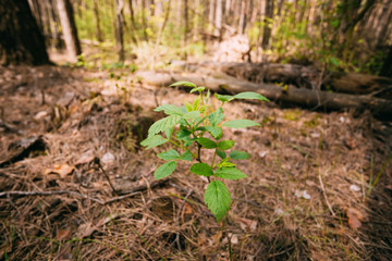 Focus On Vernal Sprout Of Wild Raspberries, Pushing Through Layer