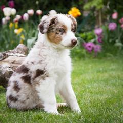 Australian Shepherd Welpe im Blumengarten