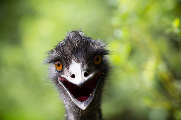 Portrait of young  Emu a Zoo.