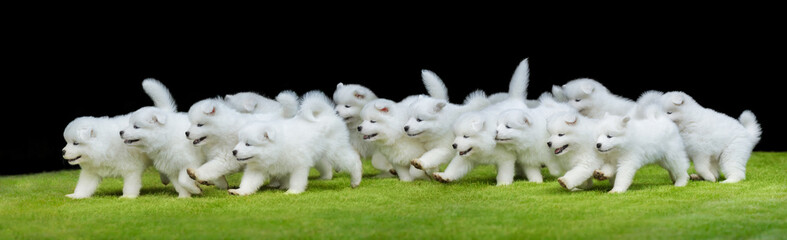 Fototapete - Group of puppies of Samoyed dog running on green grass.