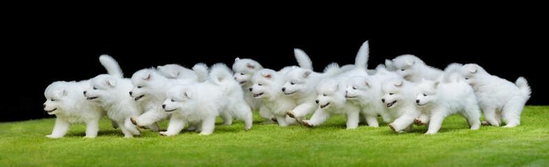 Fotoväggar - Group of puppies of Samoyed dog running on green grass.