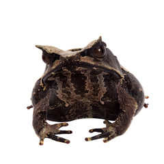 The long-nosed horned frog on white