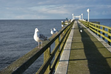Sitting laughing gulls or sea gulls on banister of old wooden landing pier in the coast of Baltic sea in east Germany. Picture taken in the summer in the suny day but with beautiful white clouds.