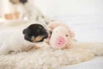 newborn puppy with luck pig - 12 days old