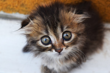 kitten with big eyes