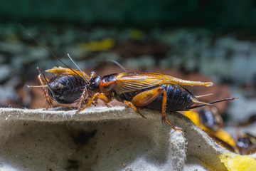 close up of Crickets in farm, Gryllidae, For consumption as food And used as animal feed.