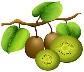 Kiwi fruit on branch