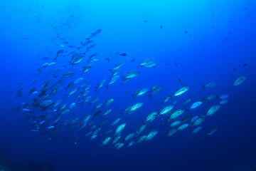 Tuna fish (Bigeye Jackfish)