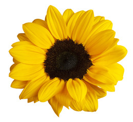 Photo of shiny yellow sunflower, shot from above on white