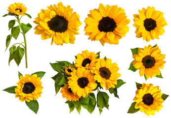 Set of photos of shiny yellow sunflowers, isolated on white