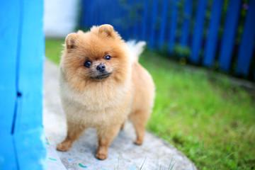 Pomeranian dog outdoor. Pomeranian dog near blue fence. Beautiful and clever dog