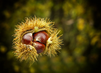 chestnuts autumn tree