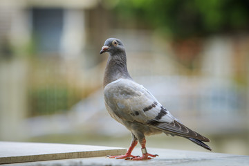 young speed  racing pigeon birds