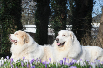 two great pyrenees lying on meadow with crocuses