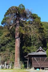 今泉諏訪神社の大杉