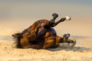 Red horse lay on sand
