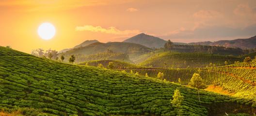 Tea plantations Wall mural