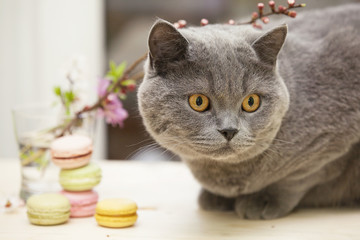 Cat and French macarons, decorated with flowers