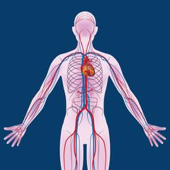 human body and circulatory system, vector diagram