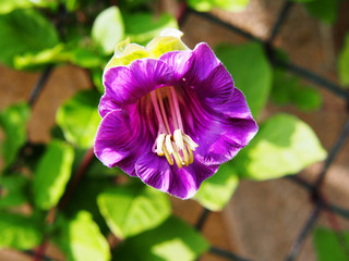 Cobaea scandens (Mexican ivy, monastery bells, cathedral bells, cup-and-saucer wine).